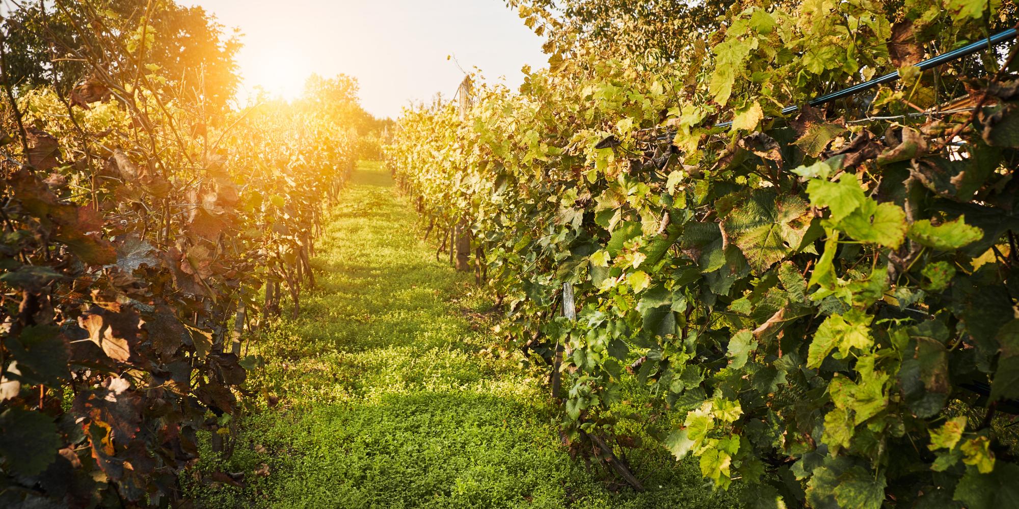 Dáta pod lupou – Vinári v roku pandémie
